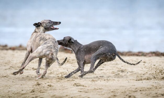 Tips for Betting on Greyhounds